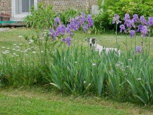 Suzie inspects the irises.
